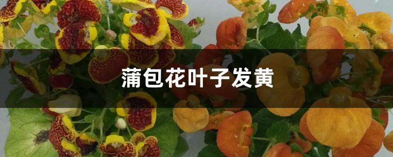 蒲包花黄叶的原因和处理办法