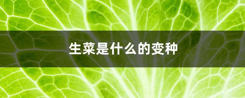 生菜是什么的变种,露地生菜浇水的时间多久浇一次
