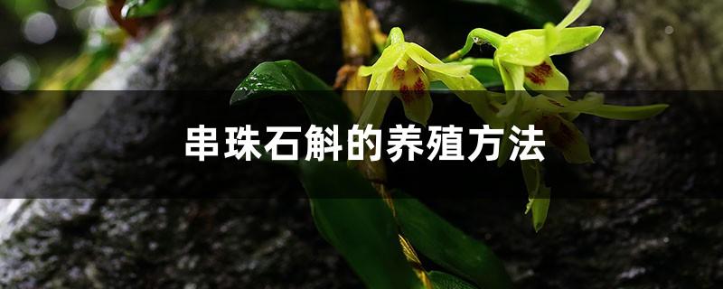 串珠石斛的养殖方法和注意事项