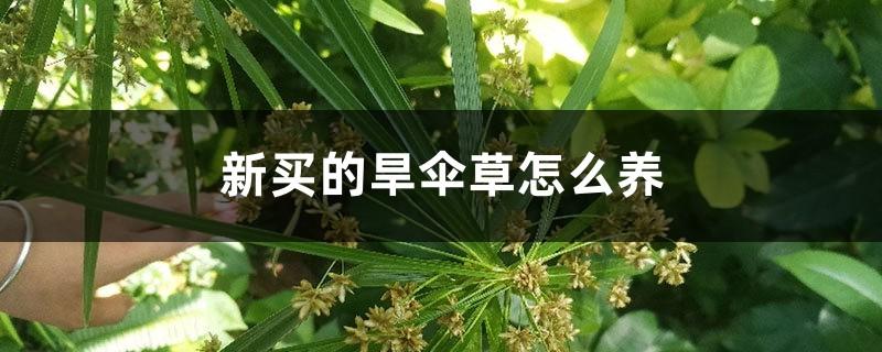 新买的旱伞草怎么养