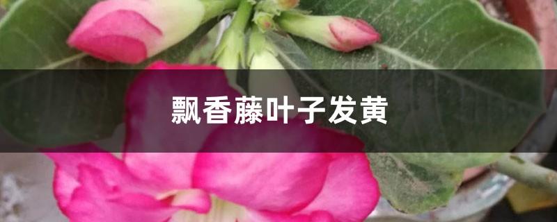 飘香藤黄叶的原因和处理办法