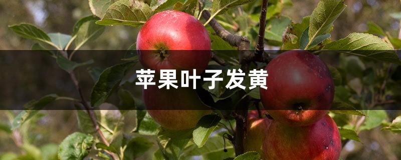 苹果黄叶的原因和处理办法