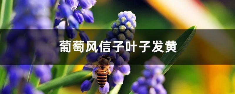 葡萄风信子黄叶的原因和处理办法