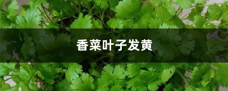 香菜黄叶的原因和处理办法