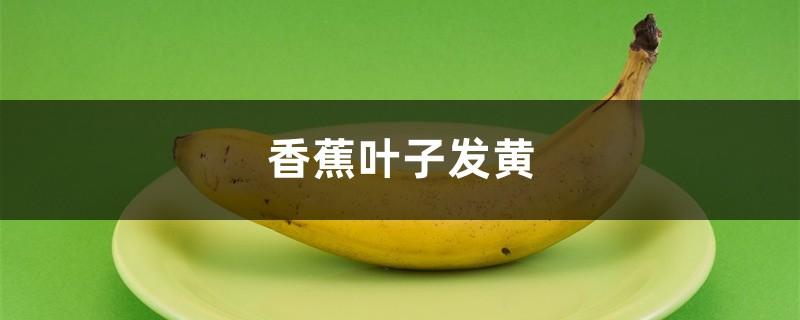 香蕉黄叶的原因和处理办法