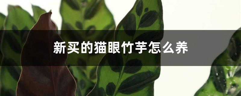 新买的猫眼竹芋怎么养