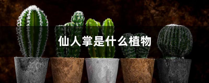 仙人掌是什么植物,仙人掌的用途