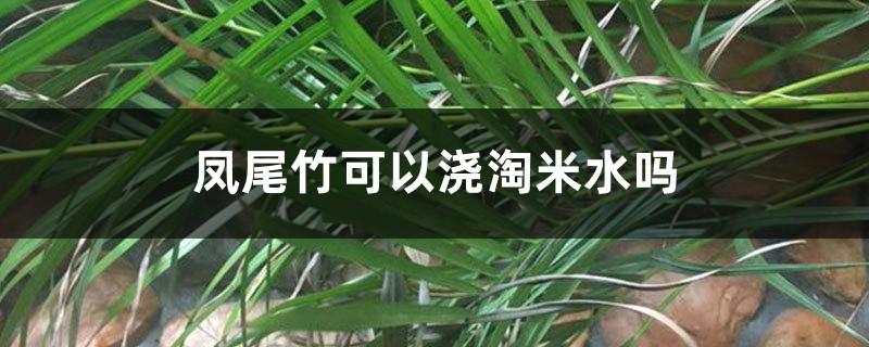 凤尾竹可以浇淘米水吗,多久浇一次水