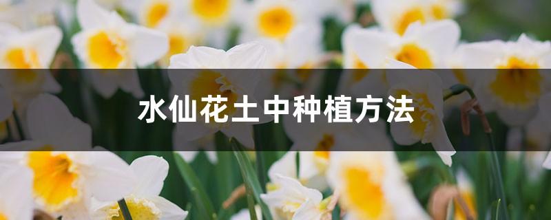 水仙花土中种植方法,水仙花种球开花后怎么保存