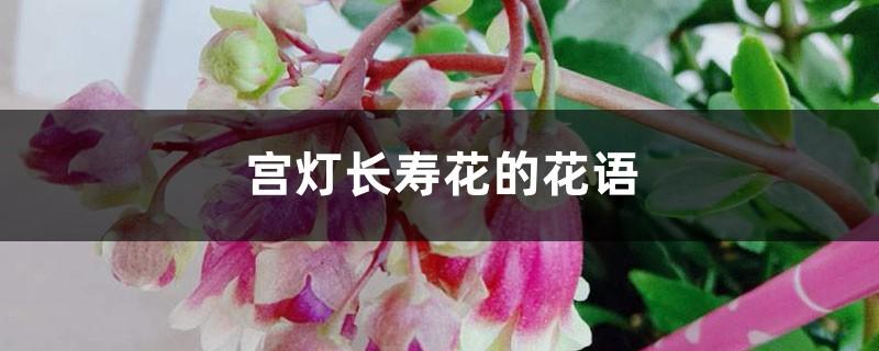 宫灯长寿花的花语和寓意,有什么传说故事