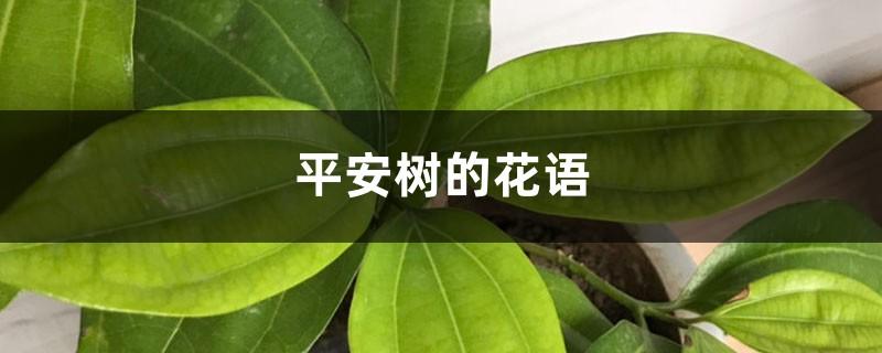 平安树的花语和寓意,有什么传说故事