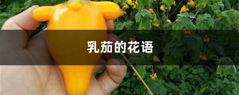 乳茄的花语和寓意,有什么传说故事