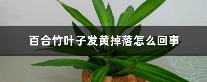 百合竹叶子发黄掉落怎么回事,怎么办