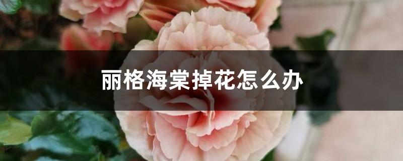 丽格海棠掉花怎么办,为什么掉花苞