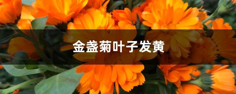 金盏菊黄叶的原因和处理办法