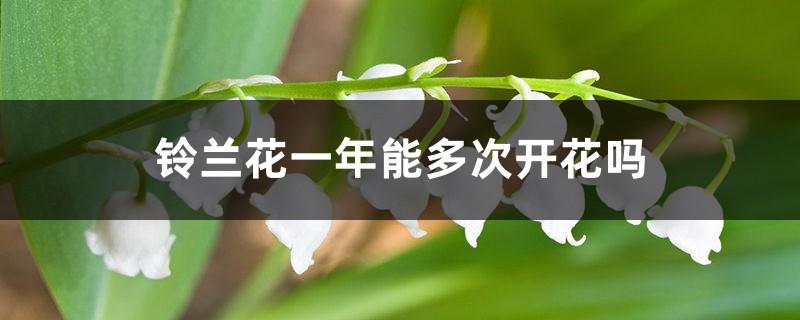铃兰花一年能多次开花吗,怎么养开花多