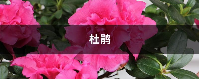 100年的杜鹃开花千朵,15年的三角梅8层楼高,咋养的?