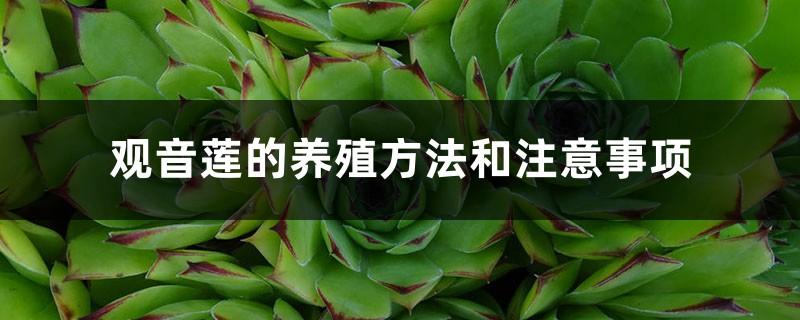 观音莲的养殖方法和注意事项