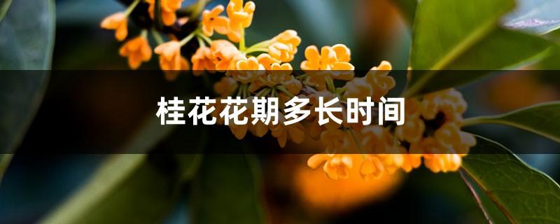 桂花花期多长时间