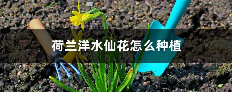 荷兰洋水仙花怎么种植(配土和种植步骤)