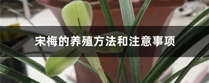 宋梅的养殖方法和注意事项