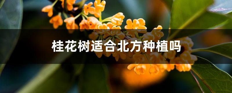 桂花树适合北方种植吗