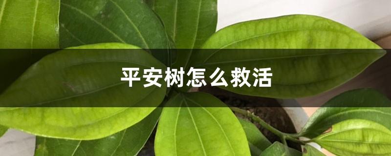 平安树怎么救活