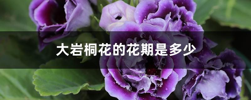 大岩桐花的花期是多少