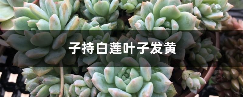 子持白莲黄叶的原因和处理办法