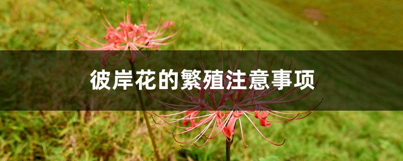 彼岸花的繁殖注意事项,彼岸花可自动繁殖吗