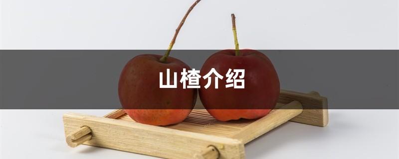 山楂介绍,山楂图片