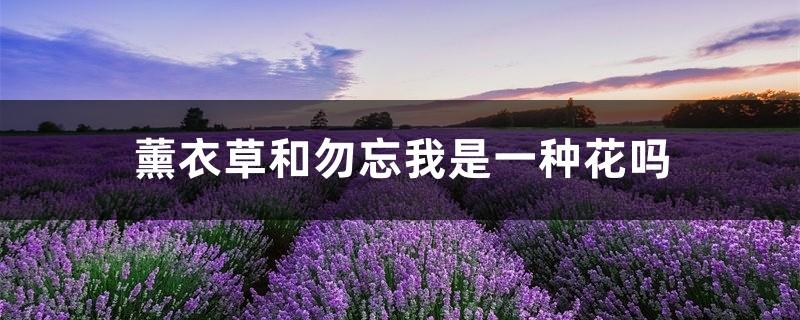 薰衣草和勿忘我是一种花吗,薰衣草和勿忘我的区别