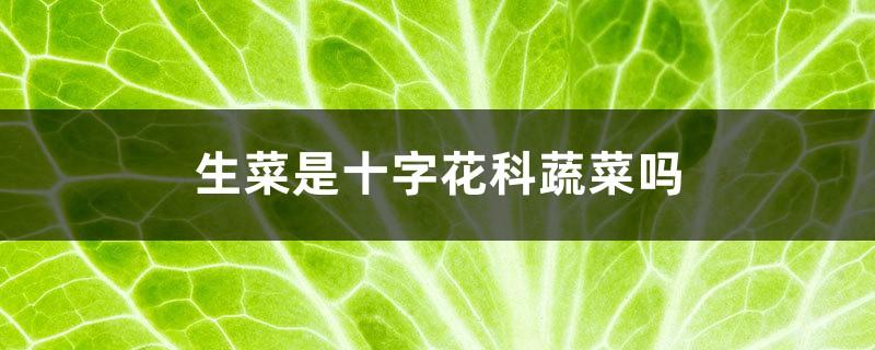 生菜是十字花科蔬菜吗,盆栽生菜多久可以采摘