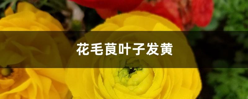 花毛茛黄叶的原因和处理办法