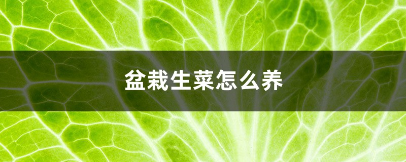 盆栽生菜怎么养,生菜浇水讲究