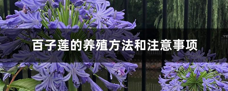 百子莲的养殖方法和注意事项