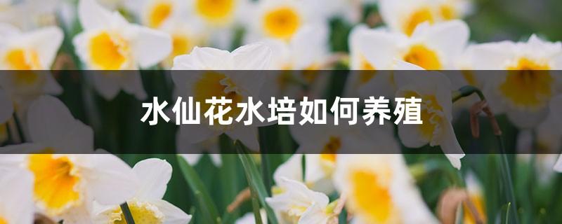 水仙花水培如何养殖,水养多久能开花