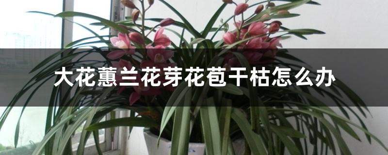 大花蕙兰花芽花苞干枯怎么办,花苞期怎么养护