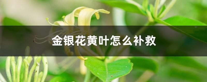 金银花黄叶的原因和处理办法