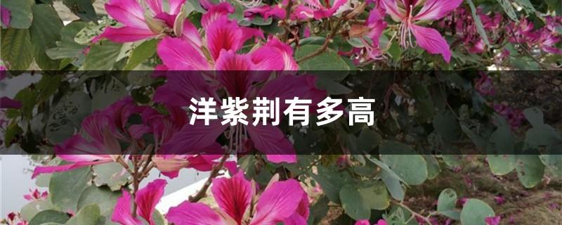 洋紫荆有多高,日常怎么养护