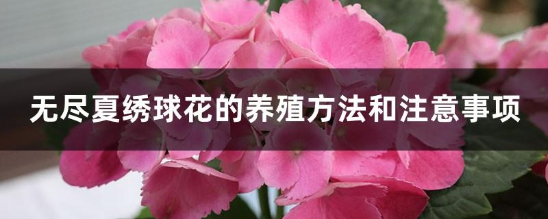无尽夏绣球花的养殖方法和注意事项