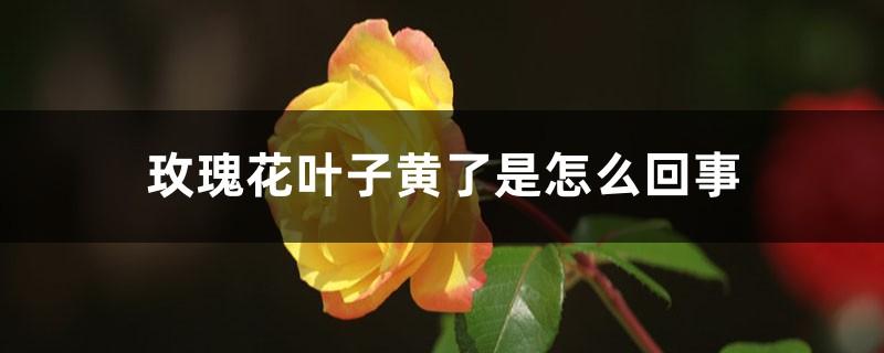 玫瑰花叶子黄了是怎么回事