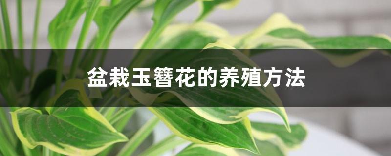 盆栽玉簪花的养殖方法和注意事项