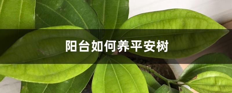 阳台如何养平安树,需要注意什么