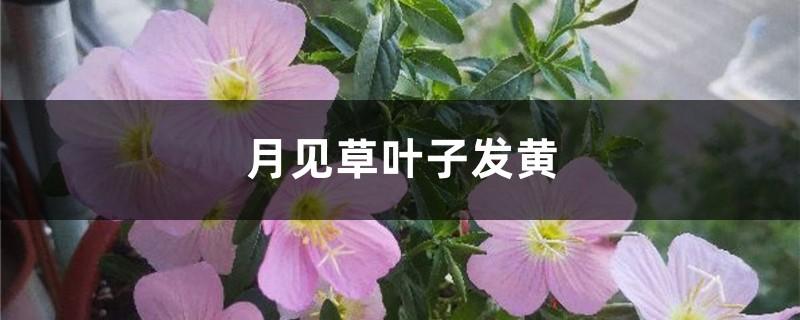 月见草黄叶的原因和处理办法