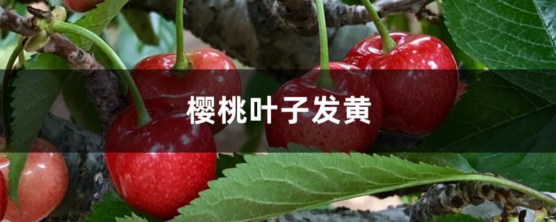 樱桃黄叶的原因和处理办法