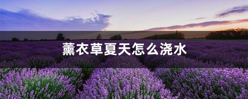 薰衣草夏天怎么浇水,薰衣草容易养活吗