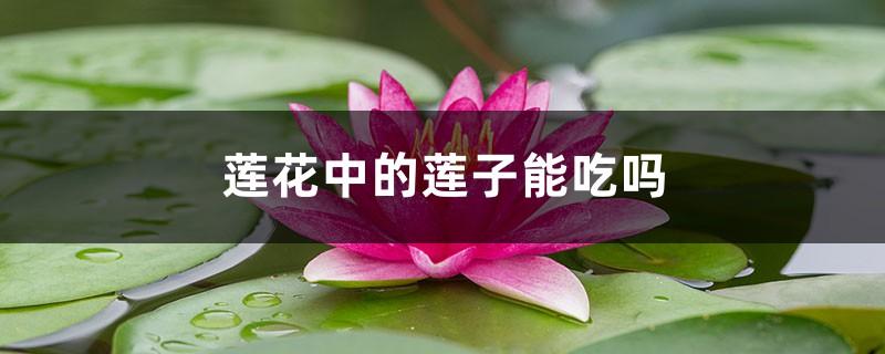 莲花中的莲子能吃吗,吃莲子有好处吗