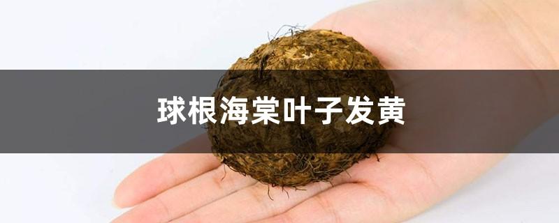 球根海棠黄叶的原因和处理办法