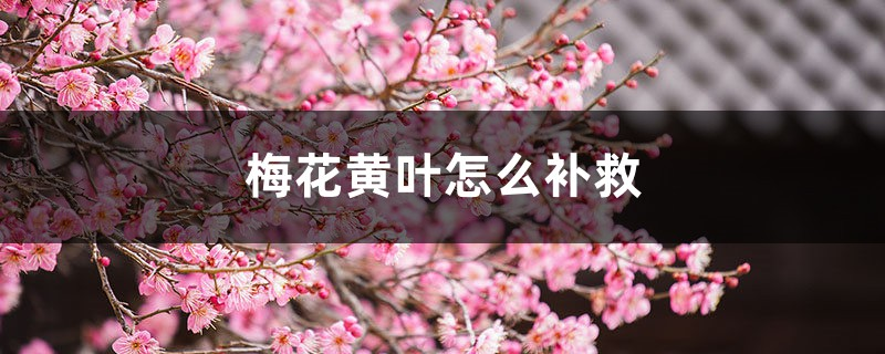 梅花黄叶的原因和处理办法